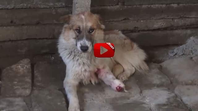 Lessy The Hero Dog Who Saved Over 18 Armenian Soldier's Life in Artsakh Frontline